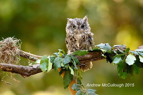 birds texas owl captive easternscreechowl texasbirds houstonaudubon klebwoods