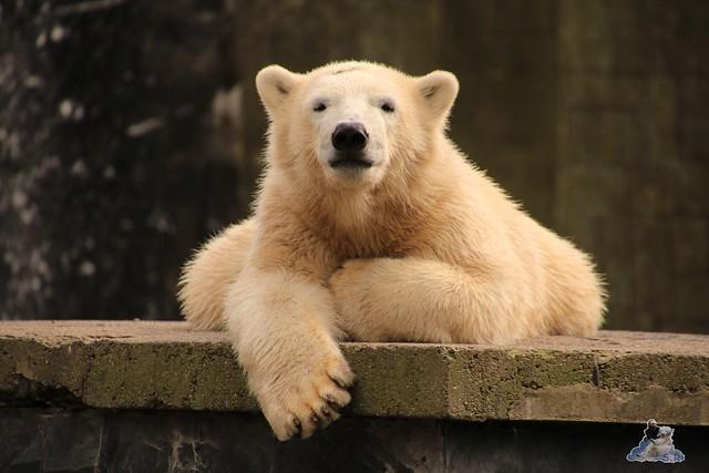 Eisbär Fiete im Zoo Rostock 19.09.2015 Teil 2  056