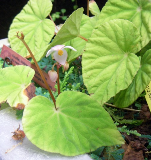 Begonia pavonina 22054304362_3406cab7e6_o