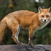 The Red Fox by toryjk