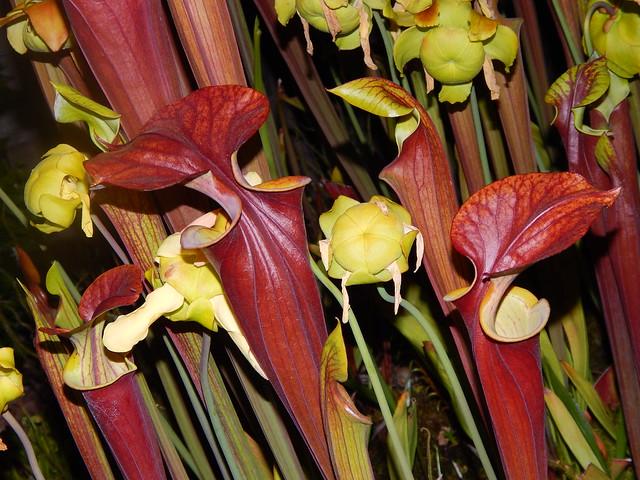 Sarracenaia flava var. atropurpurea (leucophylla introgressed)