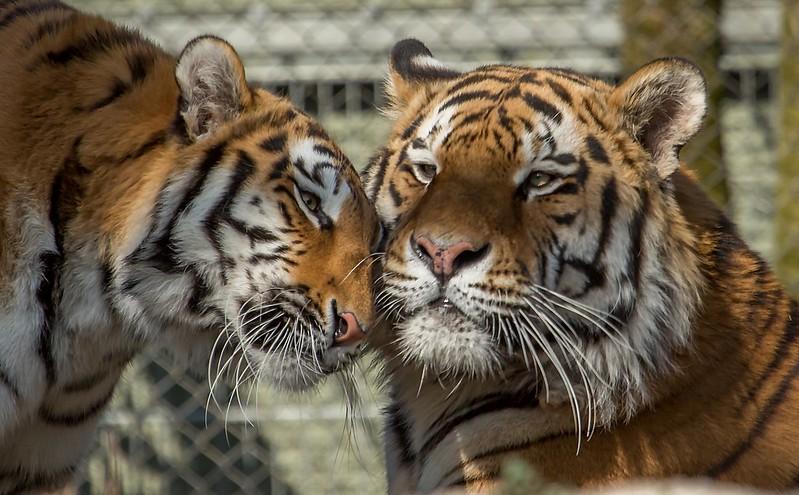Tiger Jegor & Ahimsa