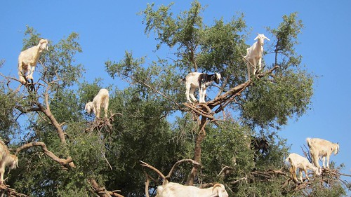 It's true! Goats in trees!