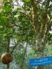 Dhundul tree