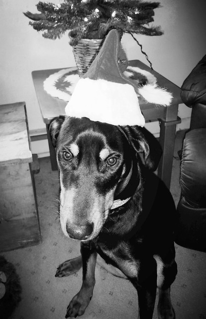 Rescued Doberman mix puppy in a Santa Hat - Lapdog Creations
