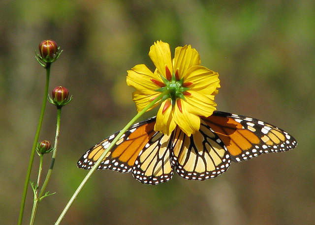 Monarch in wild cosmos ... or is it oxeye??