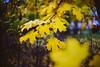 Yellow | Autumn Colors #294/365