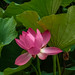 Lotus by Nick Cowling