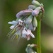 Small photo of Nodding Wild Onion (Allium cernuum)