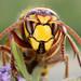 Hornet Vespa crabro by Iain Leach
