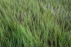 hordeum(0.0), rye(0.0), barley(0.0), wheat(0.0), chrysopogon zizanioides(0.0), food(0.0), phragmites(0.0), crop(0.0), lawn(0.0), prairie(1.0), agriculture(1.0), field(1.0), grass(1.0), plant(1.0), herb(1.0), hierochloe(1.0), green(1.0), meadow(1.0), grassland(1.0),