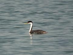 swan(0.0), duck(0.0), waterfowl(0.0), mergus(0.0), animal(1.0), water bird(1.0), wing(1.0), fauna(1.0), seaduck(1.0), ducks, geese and swans(1.0), beak(1.0), bird(1.0), wildlife(1.0),