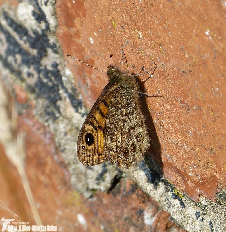 P1150653 - Wall Brown, Porth Maenmelyn