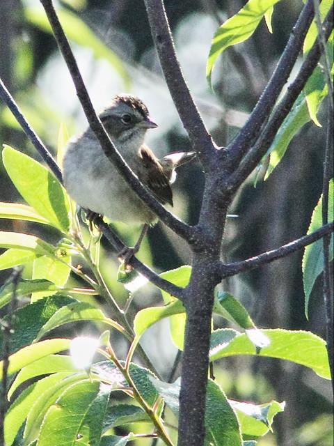 Swamp Sparrow 20150926