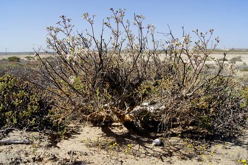 Pelargonium adriaanii in habitat