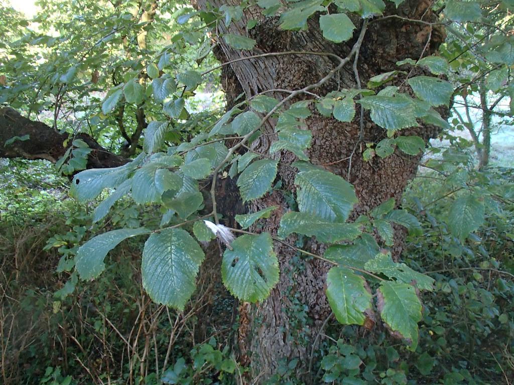 sentinel-leaves