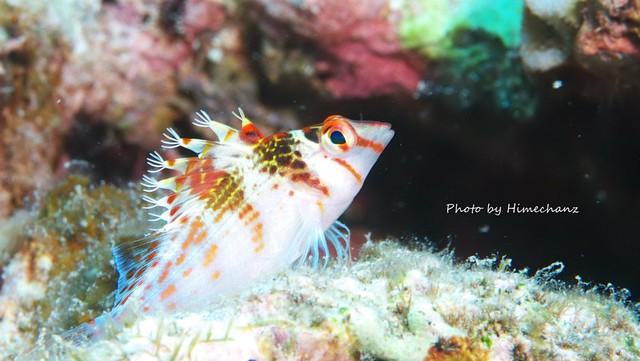 枝毛っぷりがカワイイ、サラサゴンベ幼魚