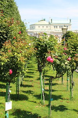 Roses in the Volksgarten in Vienna, Austria
