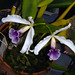 Cattleya purpurata var. werkhauseri species orchid, new 2-15, in bloom  7-15* by nolehace