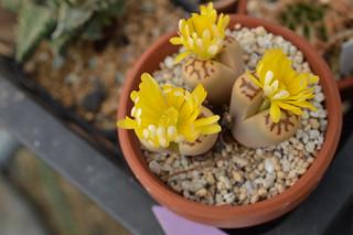 DSC_1496 Lithops dorotheae リトープス属 麗虹玉 (れいこうぎょく)
