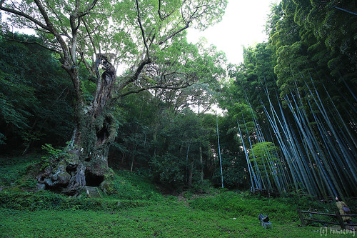 "the huge camphor tree ""Ohkusu"""