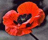 Remembrance Red Poppy