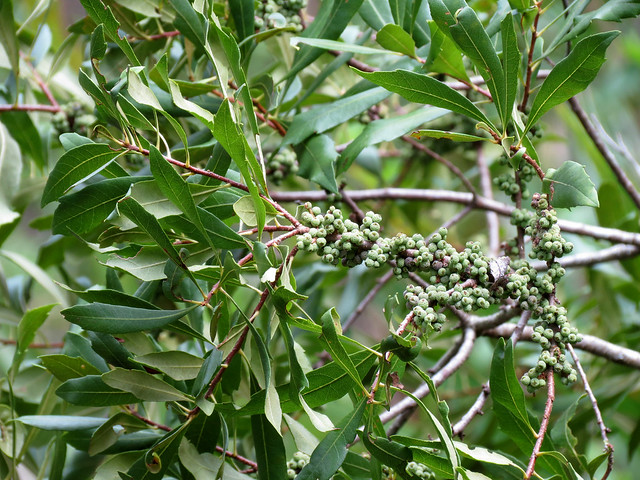 Wax Myrtle Definition Meaning