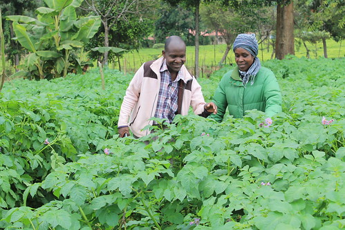 FIPS field staff Mr. Daniel Ngaga helping farmer Mrs. Fridah Nkirote scout for pests and diseases in her plot. The farmer lives in Menwe village