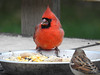Cardinal & house sparrow
