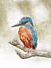 Kingfisher - Pencildrawing by www.andreasdidion.de