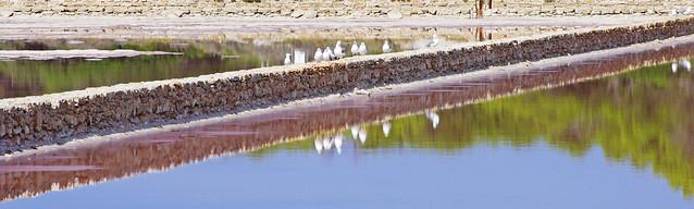 En rang d'oignon sur les marais