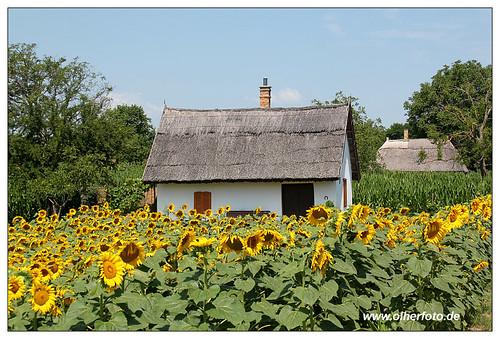hungary sommer ungarn sonnenblumen kellerdorf