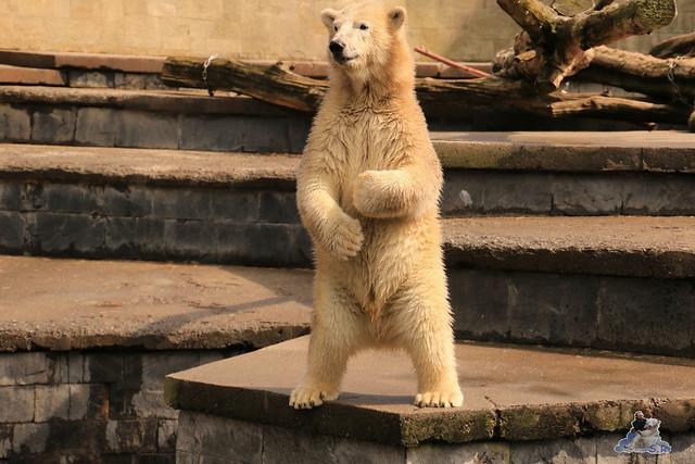 Eisbär Fiete imm Zoo Rostock 15.08.2015 Teil 2  270