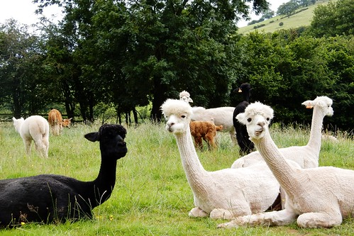 Alpaca's in Upper Panteg (Pengenfford)