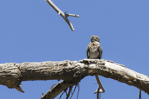 california commonnighthawk chordeilesminor