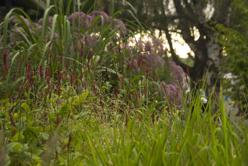 persicaria firetail h