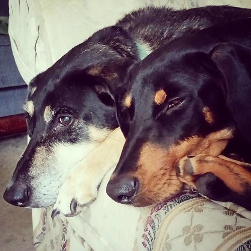 Happiness Is... #dogsofinstagram #instadog #seniordog #coonhoundmix #puppygram #dobermanpuppy #dobiemix #rescuedpuppiesofinstagram #rescueddogsofinstagram #adoptdontshop #sleepypuppy #sleepydog #cuddlydogs #instapuppy #ilovebigmutts #rescuedismyfavoritebr