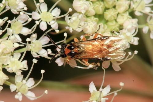 Turnip Sawfly 3062