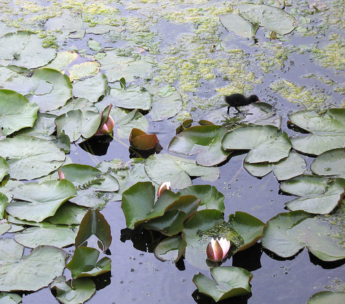 Lily Pad Sanctuary