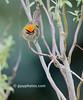 Common Firecrest (Regulus ignicapilla)