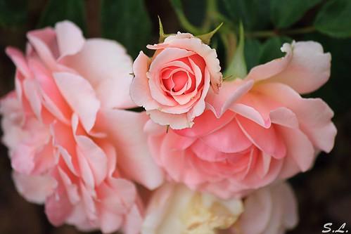 Tourbillon de Rose