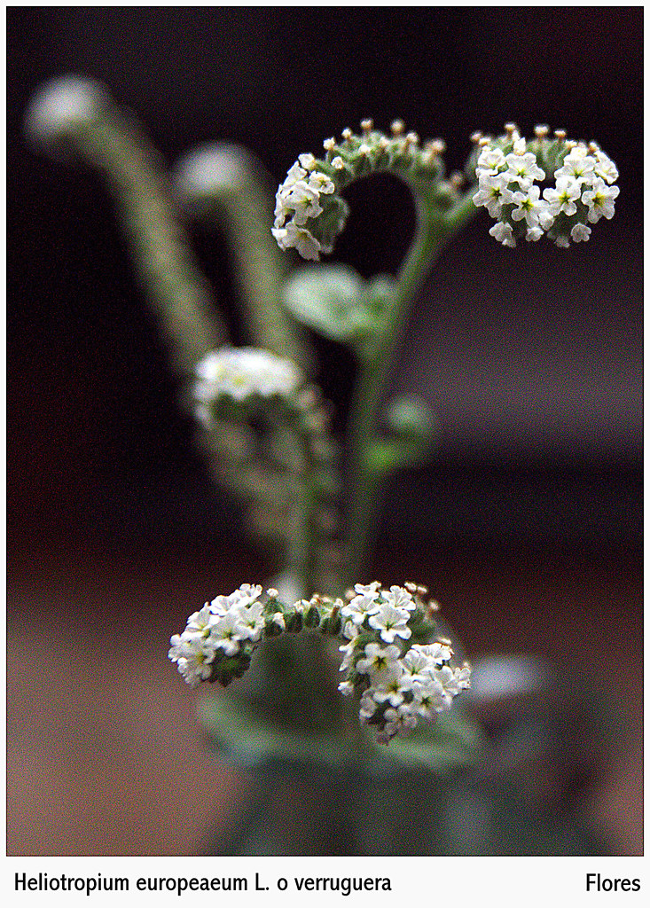 Heliotropium europaeum L. o verruguera