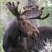 Shiras Moose (Alces alces shirasi) by David A Jahn
