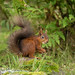 Red Squirrel Posing on the stones by Rob'81