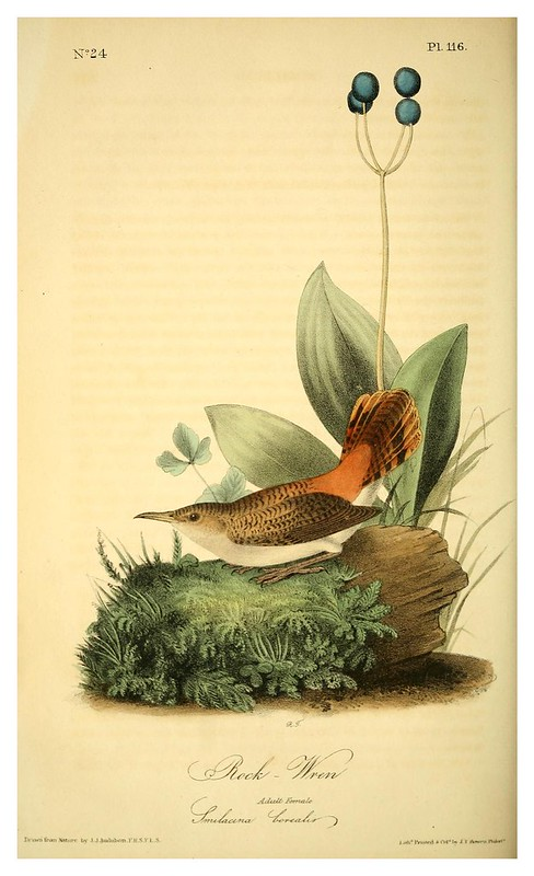 008-Reyezuelo de las rocas-Vol2-1840-The birds of America…J.J. Audubon
