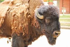 Bison bison DT [ES Zoo Madrid] (1)