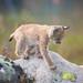 Curious lynx kitten by nemi1968