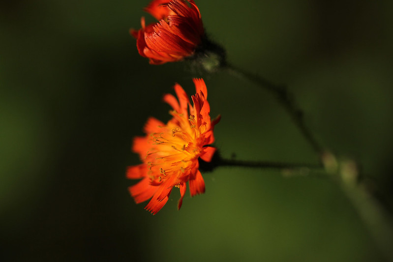 tiny orange flower2