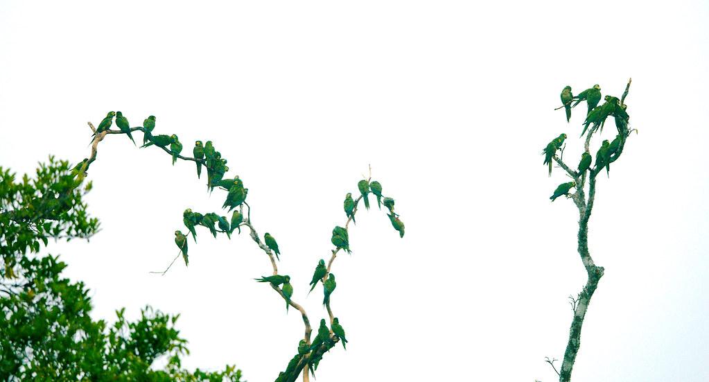 Parrot_35