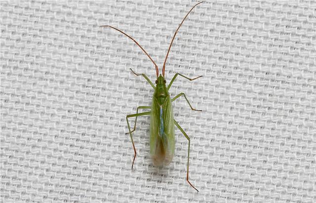 Hemiptera spp.